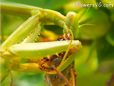 praying manting eating grasshopper