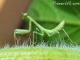 small green praying mantis