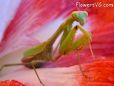 green maroon praying mantis