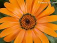 orange african daisy pictures