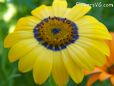 blue yellow african daisy pictures