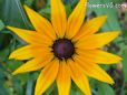 Black Eyed Susan flower daisy flower picture