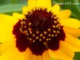 coreopsis flower daisy flower picture