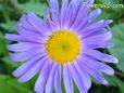 blue daisy flower picture