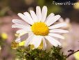 shasta daisy flower picture