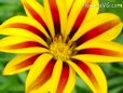 annual gazania daisy flower picture