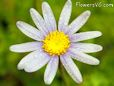marguerite daisy flower picture