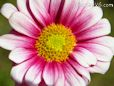 pink white daisy flower picture
