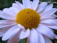 white daisy flower picture