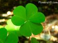 Clover plant picture