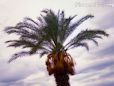 Palm Tree  plant picture